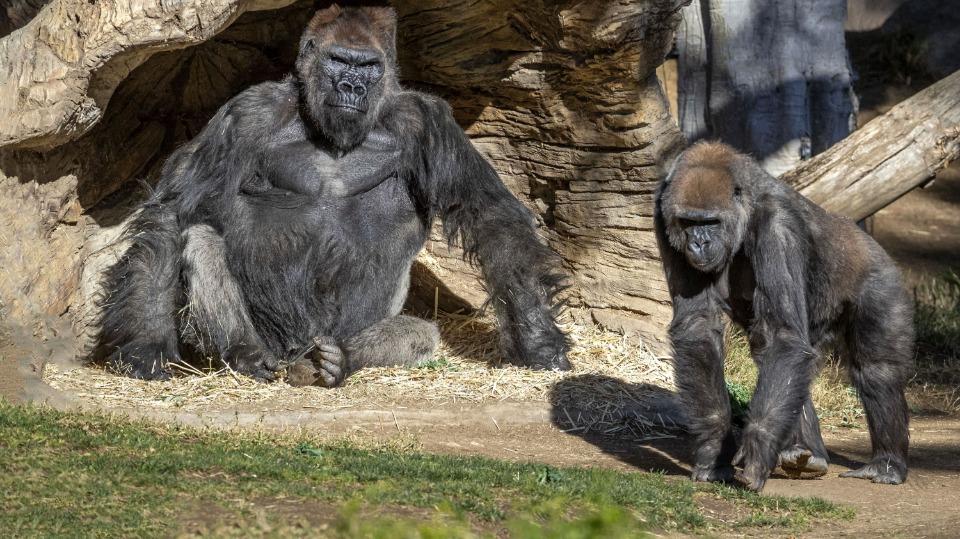 Covid-19 ilk kez iki gorilde görüldü