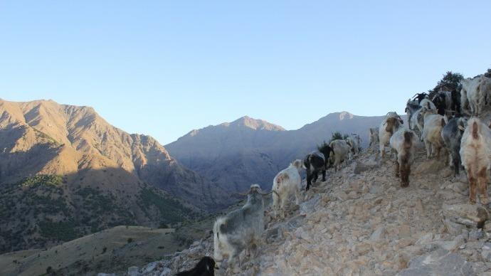 Keçilerin dağ sevdası!